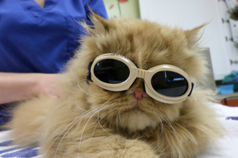 MetroPet Veterinary Clinic - Older animals on chronic medications can benefit from laser therapy.