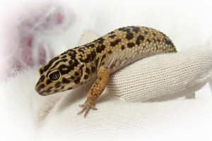 MetroPet Veterinary Clinic - About Us - Mascots - Geckin