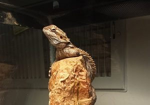 Bearded Dragon Vet Care, MetroPet Vet Clinic